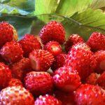 Άγριες φράουλες :: Eπιστημονική Oνομασία: Fragaria vesca :: Άλλες Ονομασίες: Χαμοκερασιά