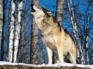 Λύκος που ουρλιάζει