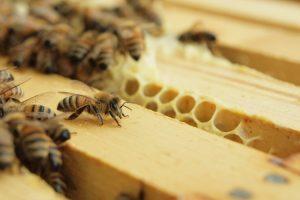 Η Βελανιδιά παράγει πολύ σκούρο μέλι, σχεδόν μαύρο, πλούσιο σε ιχνοστοιχεία