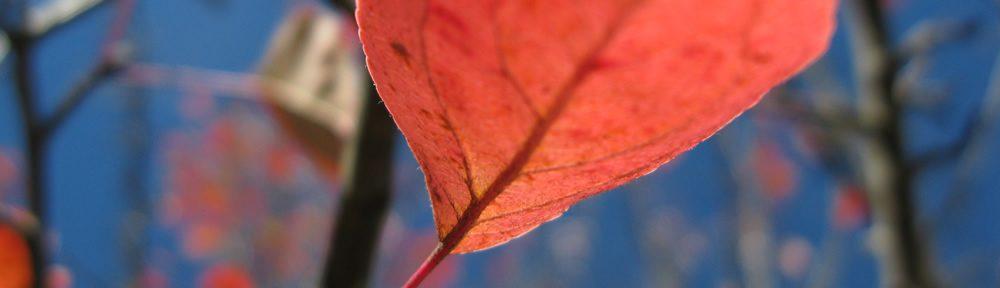 Κόκκινο φύλλο άγριας μηλιάς στα Ζαγοροχώρια στον Εθνικό Δρυμό Βίκου-Αώου