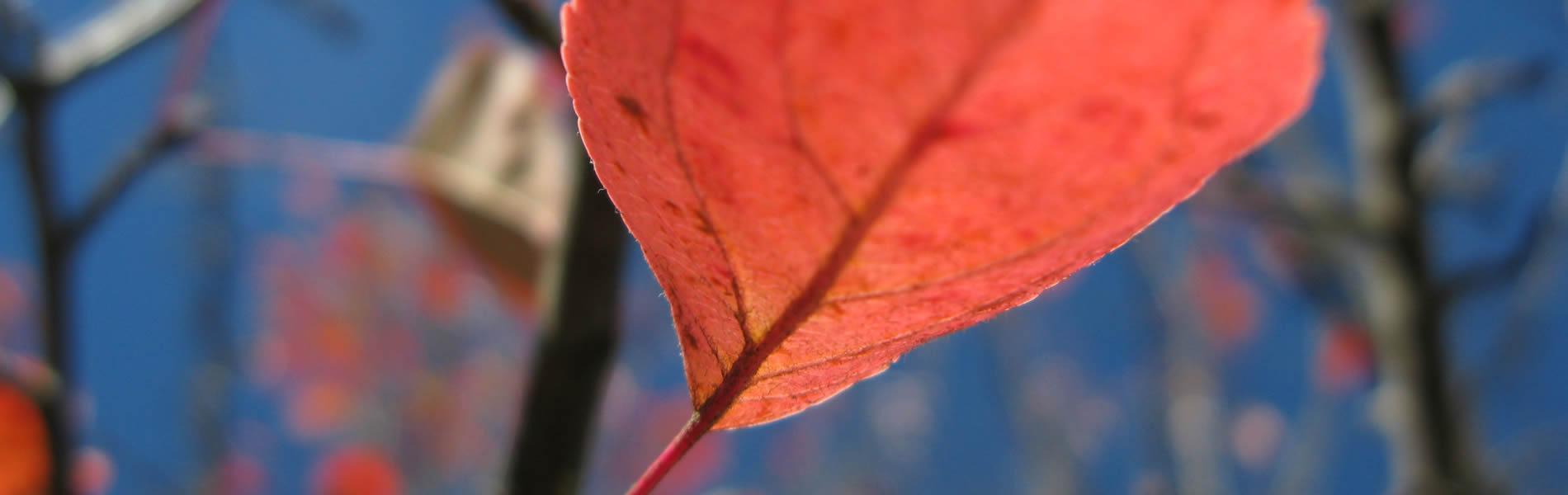 Φύλλα άγριας μηλιάς το Φθινόπωρο στα Ζαγοροχώρια