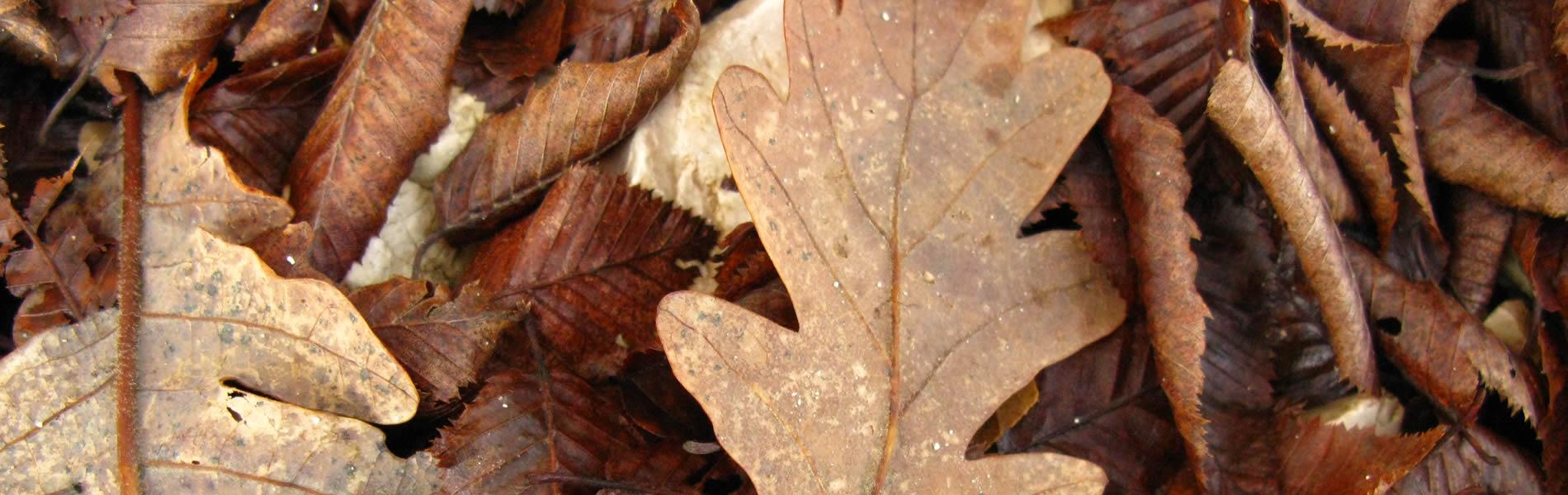 Πεσμένα φύλλα βελανιδιάς σε δάσος στα Ζαγοροχώρια