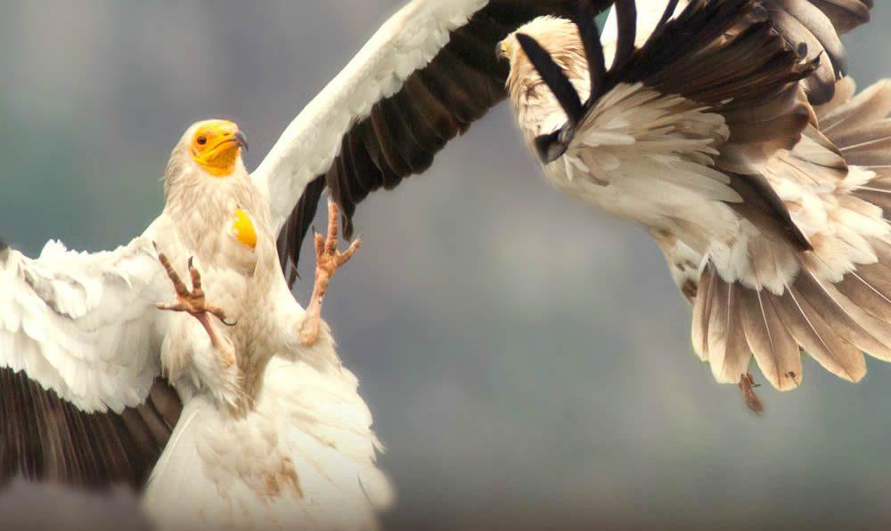 ασπροπάρης, Νeophron percnopterus. Κυρίαρχος απέναντι στα άλλα σκουπιδοφάγα πουλιά (κορακοειδή, γλάροι, κτλ), στα ψοφίμια θα πρέπει να περιμένει τους μεγαλόσωμους γύπες να τελειώσουν για να ξεκοκαλίσει το υπολείμματα. Τρέφεται σχεδόν με οτιδήποτε νεκρό, από ψάρια και φάλαινες μέχρι και ψοφίμια του ίδιου του είδους του (!). Τρώει και σάπια φρούτα, αλλά και ζωντανά έντομα που πιάνει στον αέρα εντοπίζοντας τα με την οξύτατη όρασή του, αφού αναγνωρίζει αντικείμενα 4-8 εκατοστών από ύψος 1000 μέτρων!