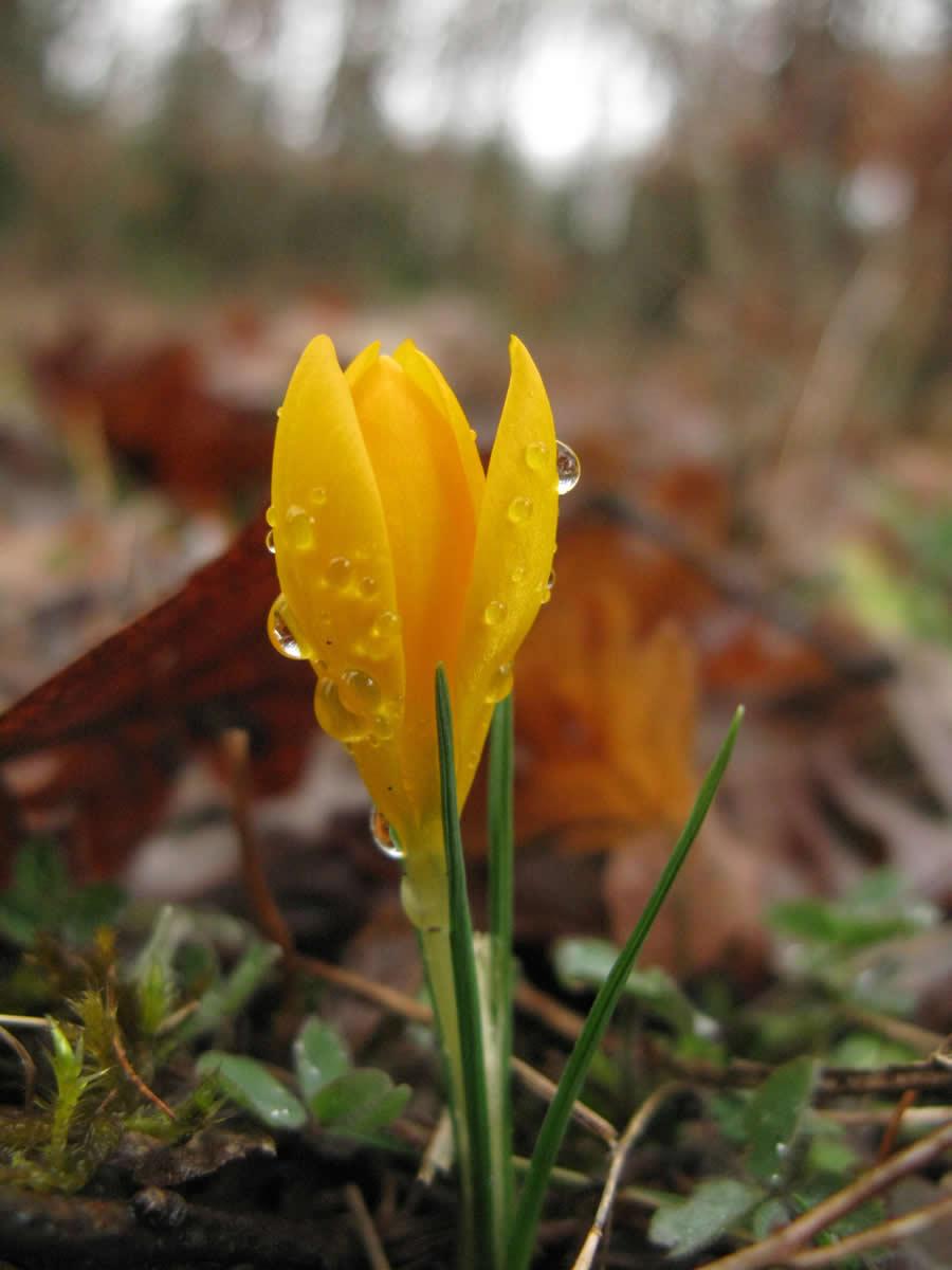 """Ο κίτρινος κρόκος ή Crocus flavus ανήκει στην οικογένεια Iridaceae. Φύεται στα Ζαγοροχώρια και έχει πολύ έντονο κίτρινο χρώμα τόσο ώστε έχει χαρακτηριστεί """"μικρή φλόγα"""" από τους E.A. Bowles & Alfred, Lord Tennyson σε ποιήματά τους."""